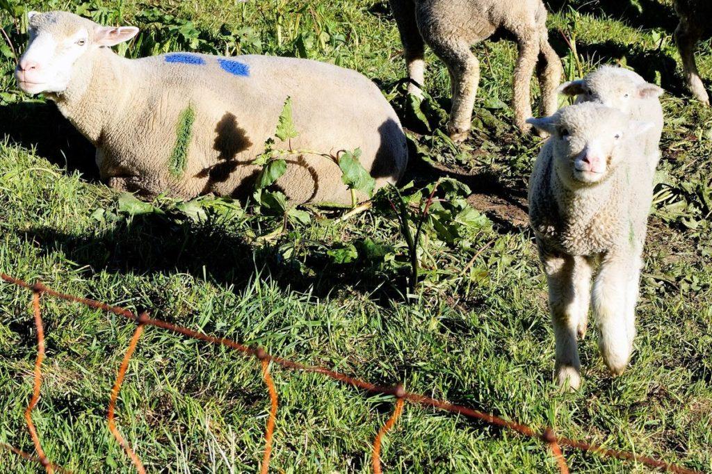 Määääh - wärend wir am Tag zuvor ausschießlich Kuhweiden passierten, trafen wir bei Andermatt eine kleine Schaffamilie
