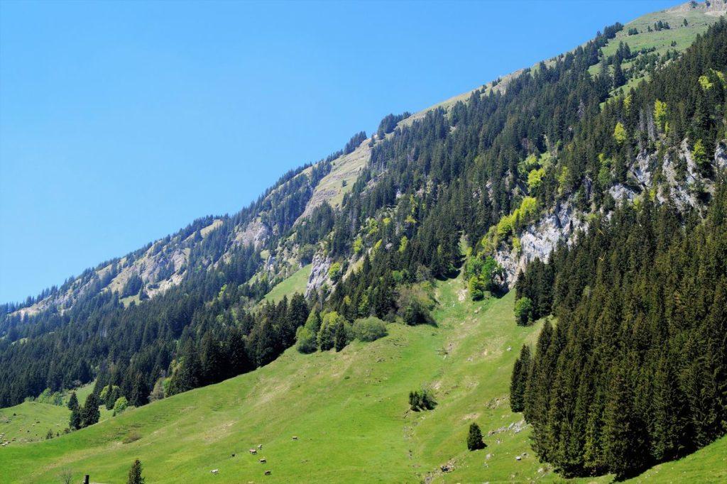 Sattes Grün, steile Hänge und glücklicke Kühe